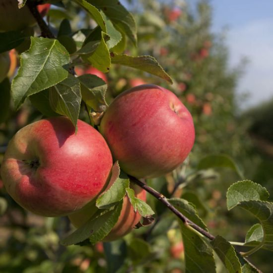 Picture of fresh apple